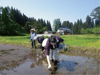 稲の手刈.jpg
